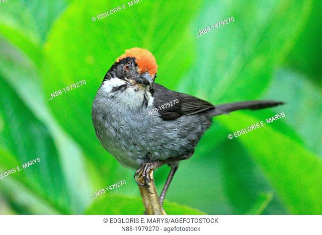 Slaty Brush FInch San Eusebio Cloud Forest Merida Venezuela