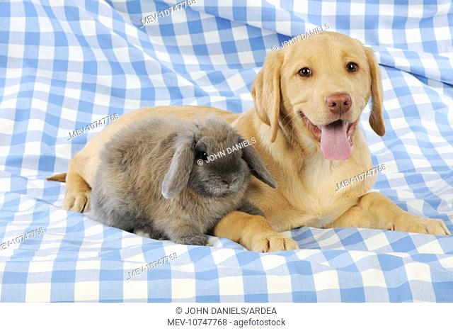 Dog - Fox Red Labrador - puppy sitting next to Miniature Lop Eared Rabbit