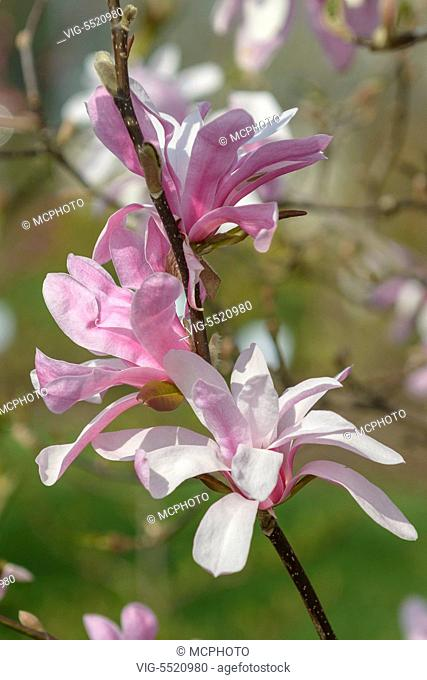 OESTERREICH, WIEN, 26.03.2014, Loebner's Magnolie (Magnolia Ã¿ loebneri 'Leonard Messel') - Wien,Austria, 26/03/2014