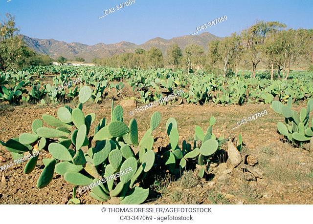 Cultivated Prickly Pear (Opuntia ficus-indica) fieldas in the Cabo de Gata-Nijar Biosphere Reserve. Almería province, Andalusia, Spain
