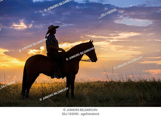 Boerperd, Boer Pony. Rider on stallion standing in savanna during sunset. South Africa