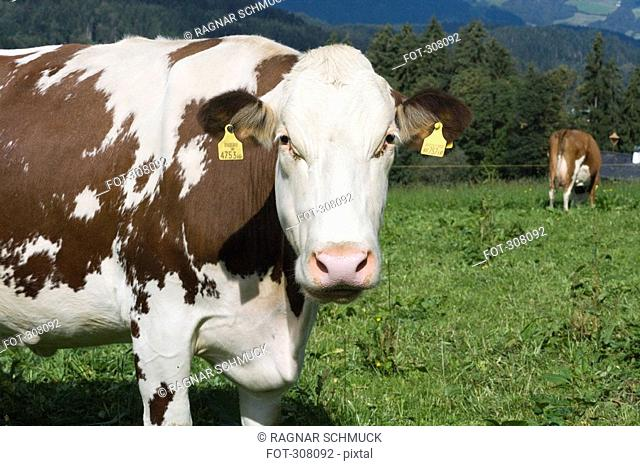 Two cows in meadow, one close-up