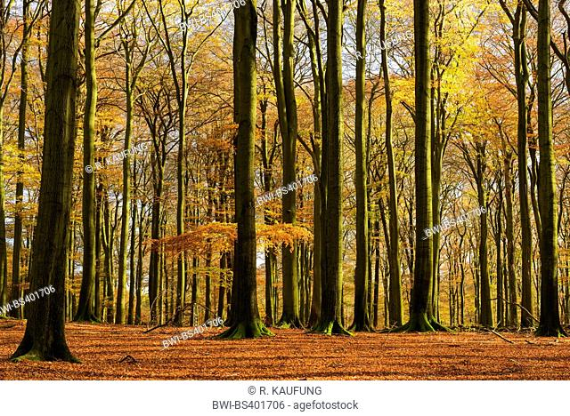 common beech (Fagus sylvatica), natural beech forest, Germany, North Rhine-Westphalia, Sauerland, Arnsberg Forest Nature Park