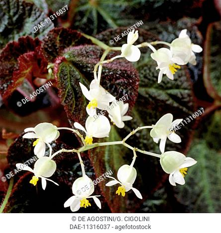 Tuberous begonia (Begonia x tuberhybrida ramentacea), Begoniaceae