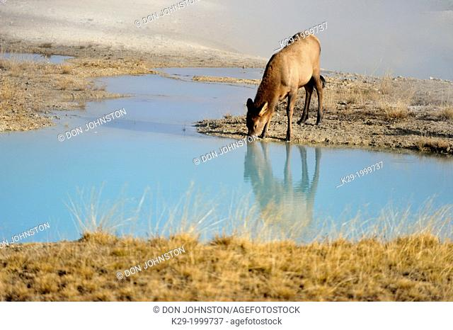 Elk (Cervus elaphus) Calf drinking from hot spring pool in the West Thumb geyser basin, Yellowstone NP, Wyoming, USA