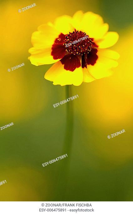 Golden tickseed  (lat. Coreopsis tinctoria)