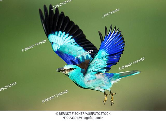 Roller (Coracias garrulus), flying, Bulgaria