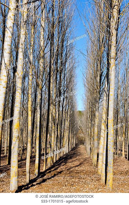 Poplar grove in Sacedón  Guadalajara  Castilla la Mancha  Spain