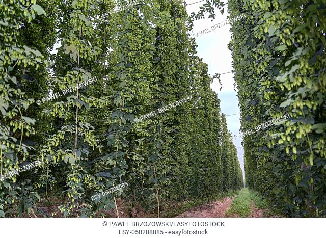 Row of green hops, grown for brewing beer, near harvest time in a hop yard