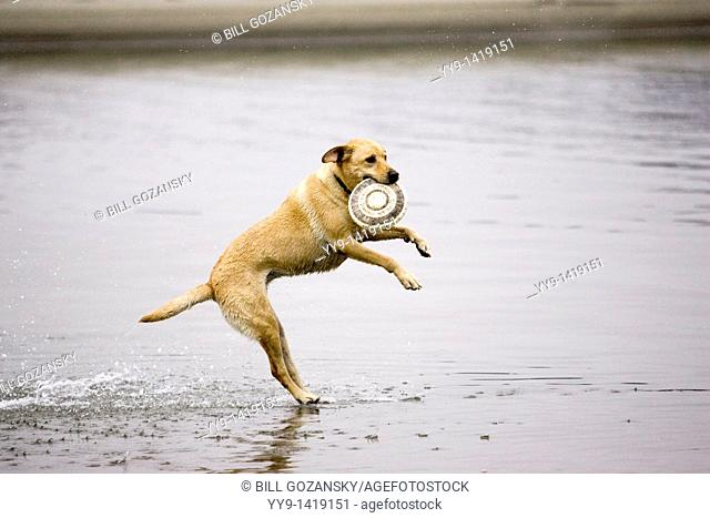 Dog catching frisbee in water - Mendocino, California