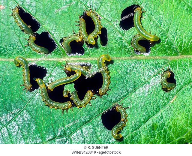 sawfly (Tenthredinidae), Young larvae fenestrate feeding pattern in leaves (Common Alder - Alnus glutinosa), Germany