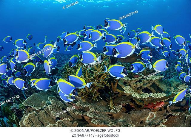 Acanthurus leucosternon, powderblue surgeonfish