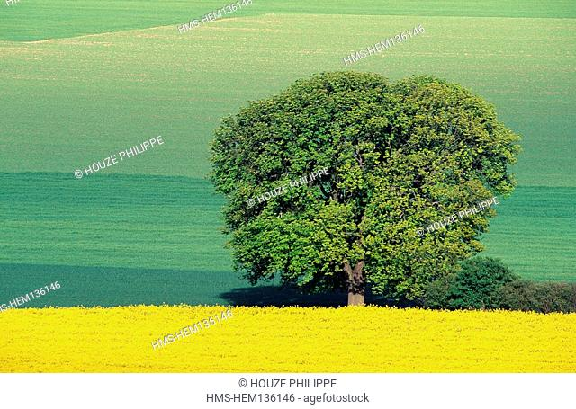 France, Marne, colza field and tree in the plain