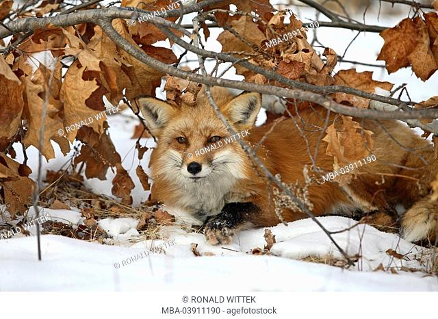 Lie red fox, Vulpes vulpes