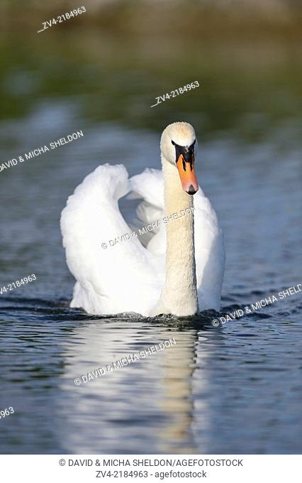 Close-up of a Mute Swan (Cygnus olor) swimming in the water in spring