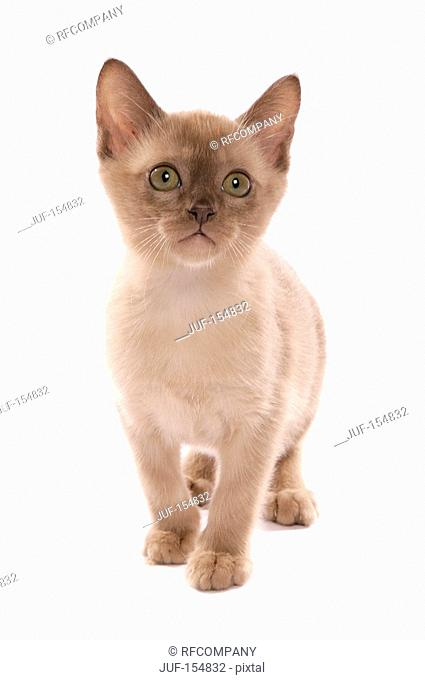 Burmese cat - kitten standing - cut out