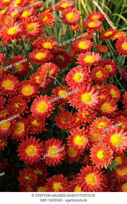 Chrysanthemum Chrysanthemum indicum 'Rumpelstilzchen'