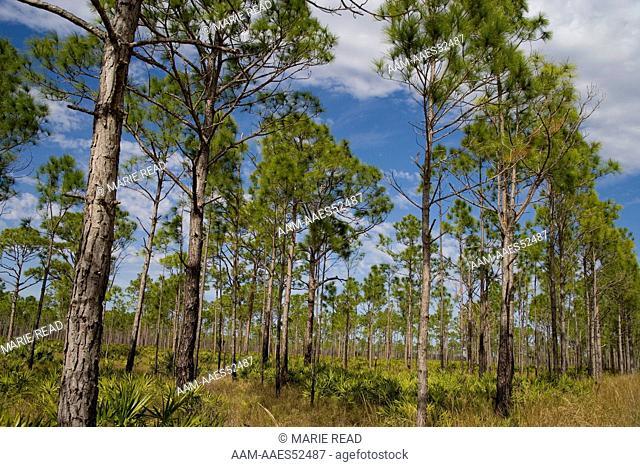 Slash Pine-Palmetto flatwoods habitat, Babcock-Webb Wildlife Management Area, Charlotte County, Florida