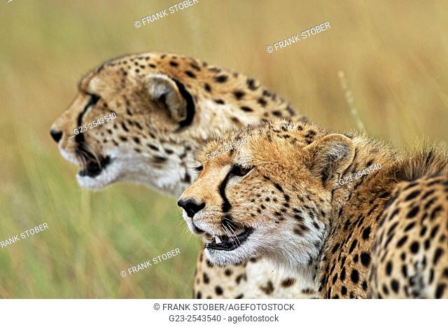 Two Cheetah in Maasai Mara National Reserve, Kenya