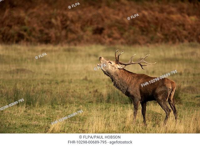 Red Deer Cervus elaphus stag, roaring, during rutting season, Bradgate Park, Leicestershire, England