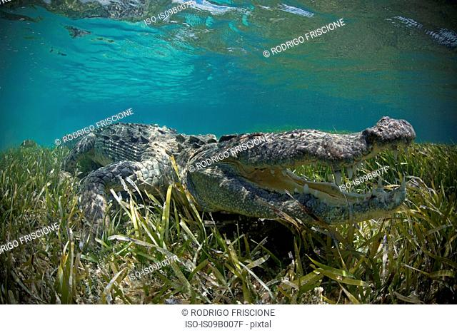 American crocodile (Crocodylus Acutus) crawls in shallows, Chinchorro Atoll, Mexico