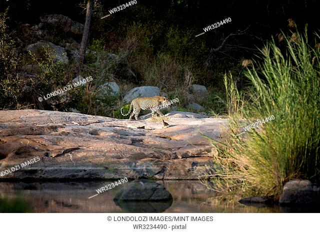 A leopard, Panthera pardus, walks across boulders against a river, curled tail, looking away, greenery in background