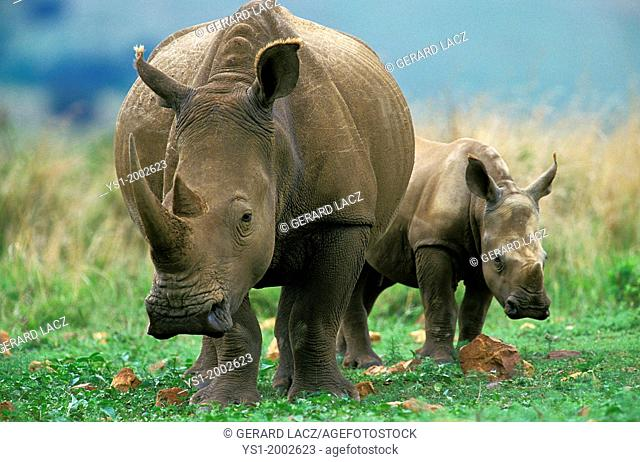 White Rhinoceros, ceratotherium simum, Mother with Calf, South Africa