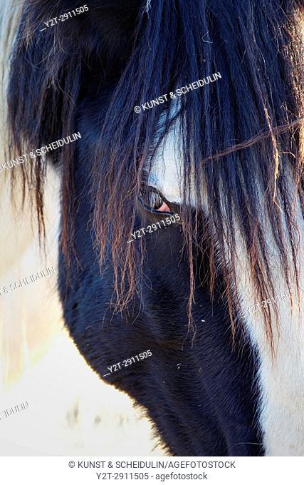 Portrait of a Tinker horse. Västernorrland, Sweden