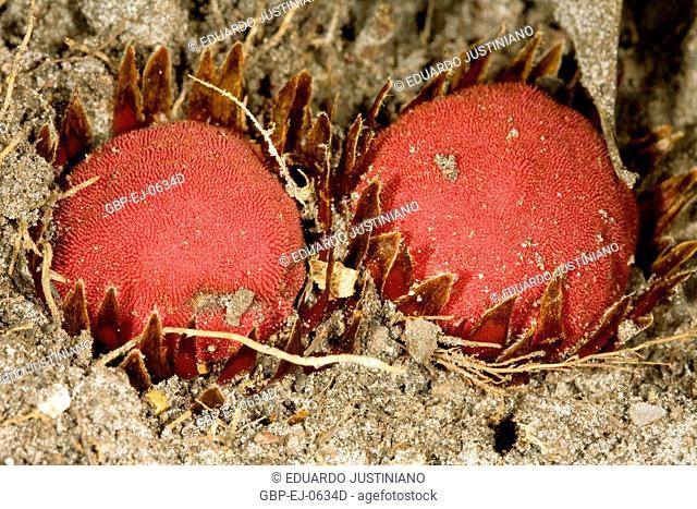 Parasite of Root, São Gonçalo do Rio Preto, Minas Gerais, Brazil