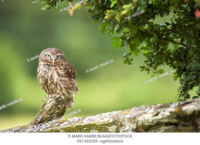 Little Owl  Athena noctua  adult male perched on old post in hedgerow taken in controlled conditions with captive-bred bird  July 2009
