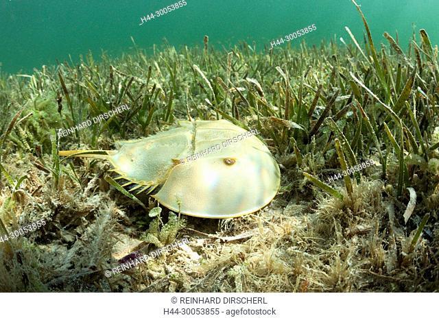 Horseshoe Crab in Mangroves, Limulus polyphemus, Cancun, Yucatan, Mexico