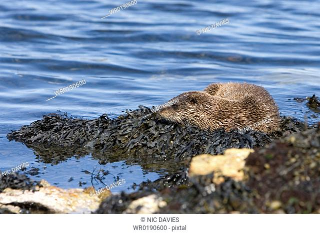 Eurasian river otter Lutra lutra resting on seaweed Otters spend a great deal of time resting ashore, usually near to the water's edge This time is spent...