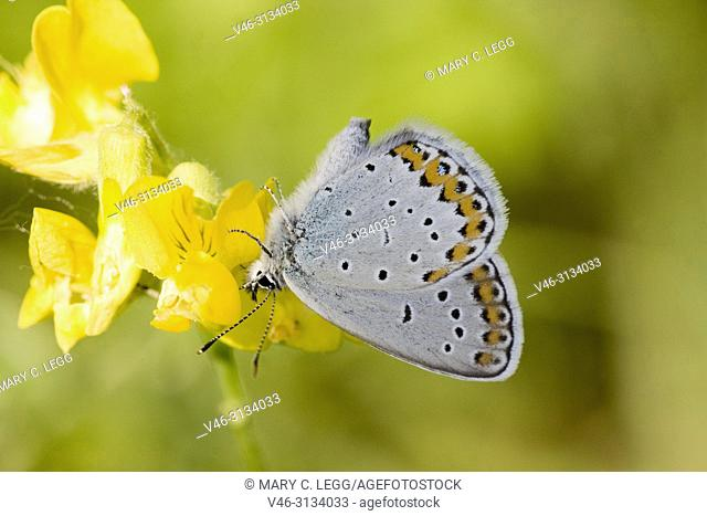 Reverdin't Blue, Plebejus argyrognomon. Reverdin's Blue, Plebejus argyrognomon, a small blue butterfly with markings similar to Idas Blue, Plebejus idas