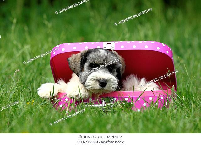 Miniature Schnauzer. Puppy (6 weeks old) lying in a pink suitcase with white polka dots. Germany