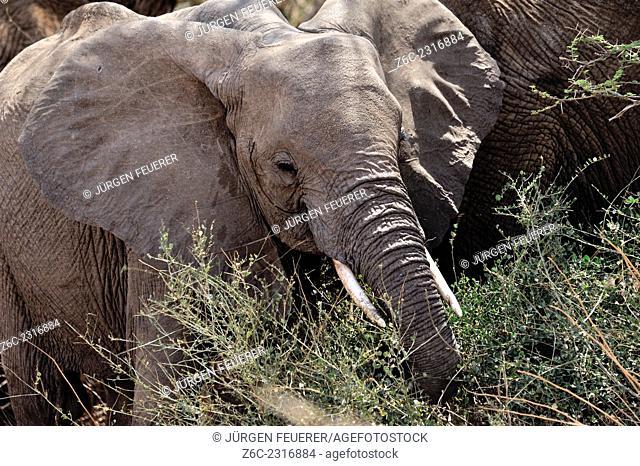 Young elephant, Loxodonta africana, while eating, Kenya