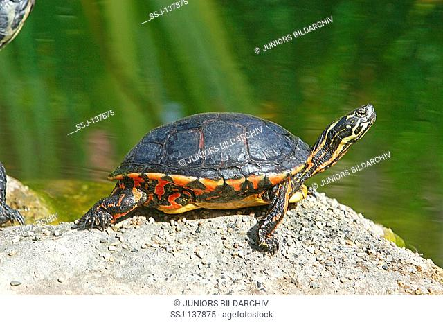 Eastern painted turtle / Chrysemys picta picta