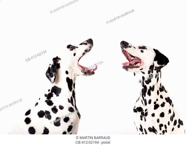 Dogs howling at each other