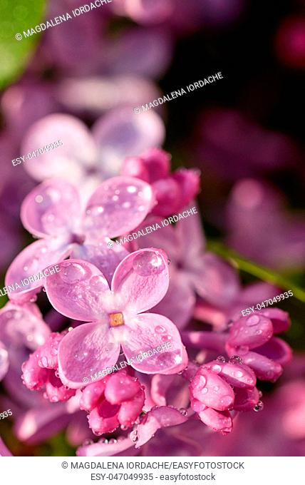 Branch of lilac flowers and drops
