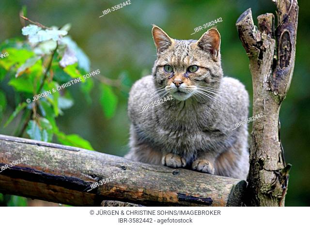 Wildcat (Felis silvestris), captive, Hanau, Hesse, Germany