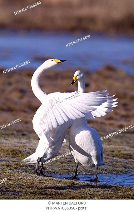 Two whooper swans embrace eachother Narke Sweden