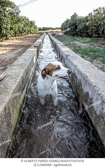 dog within an irrigation ditch, Valencia, Spain