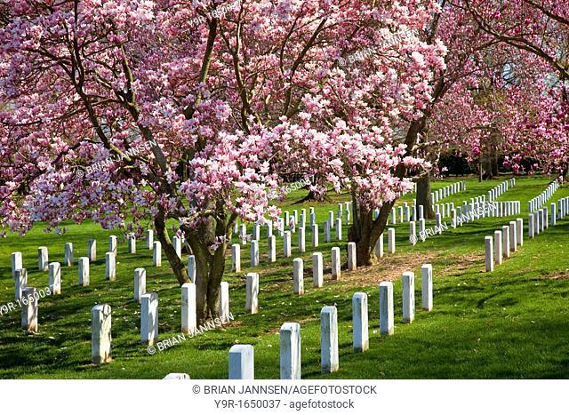 Blossoming Cherry Trees at Arlington National Cemetery, Arlington Virginia USA