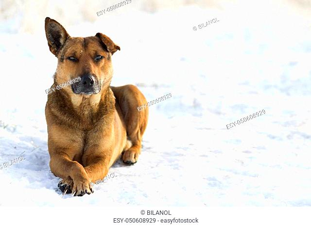 Close-up of yellow dog pet on white snow outdoors