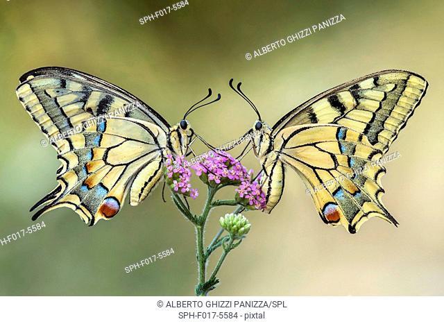 Two swallowtail butterflies on a flower