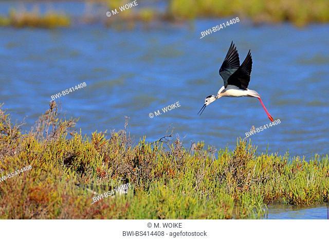 black-winged stilt (Himantopus himantopus), landing on an island, France, Camargue