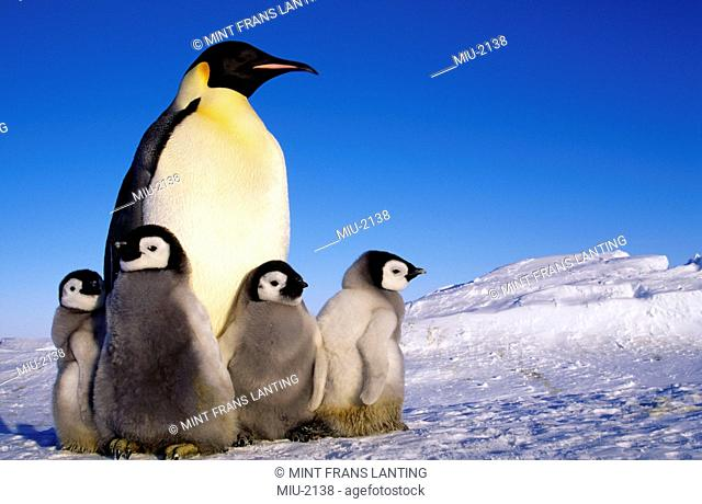 Emperor penguin, Aptenodytes forsteri, and chicks on the Weddell Sea ice shelf, Antarctica