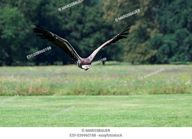 Photo vulture flying in the wild just above the grassy ground