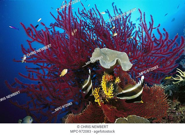 Reef scenic with two Pennant Bannerfish Heniochus chrysostomus, purple Soft Coral Plexauridae, and Leather Coral Sarcophyton sp, Solomon Islands