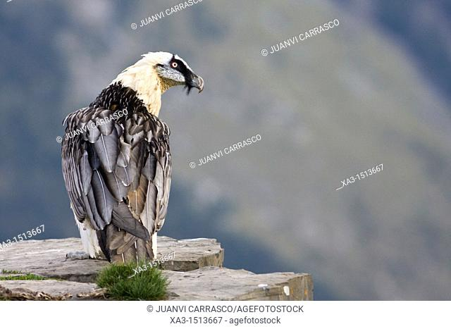 Lammergeier Gypaetus barbatus at Ordesa and monte perdido national park, Huesca Province, Aragon, Pyrenees, Spain