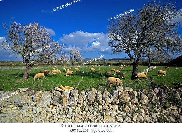 Sheep. . Felanitx. Comarca de Migjorn. Mallorca. Baleares. Spain